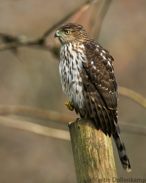 Coopers Hawk