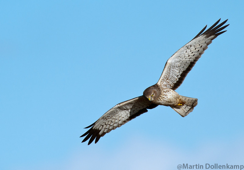 Northern Harrier at Boundary Bay