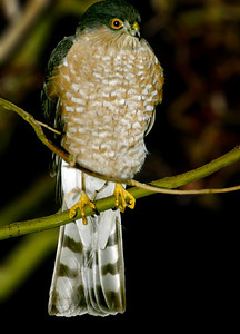 This small hawk was in the small tree in front of the house, it had just finished try to get our small Parrotlets through the glass.