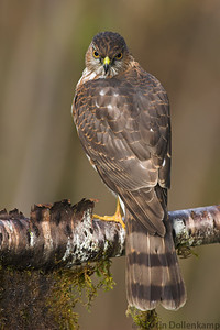 Sharp-shinned Hawk Accipiter striatus