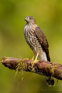 Sharp-shinned Hawk, this girl struck terror in the small birds but the larger birds almost ignored her, dodging at the last second as she would approach, she was also very vocal and called constantly.