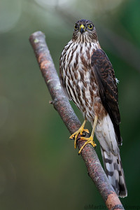 Sharp-Shinned Hawk Juvinile