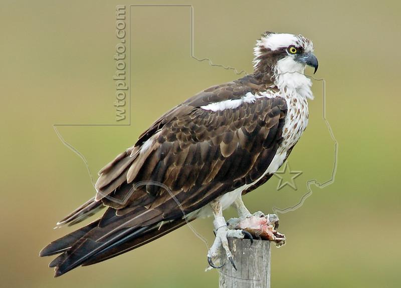 Osprey,<br /> Matagorda, Texas