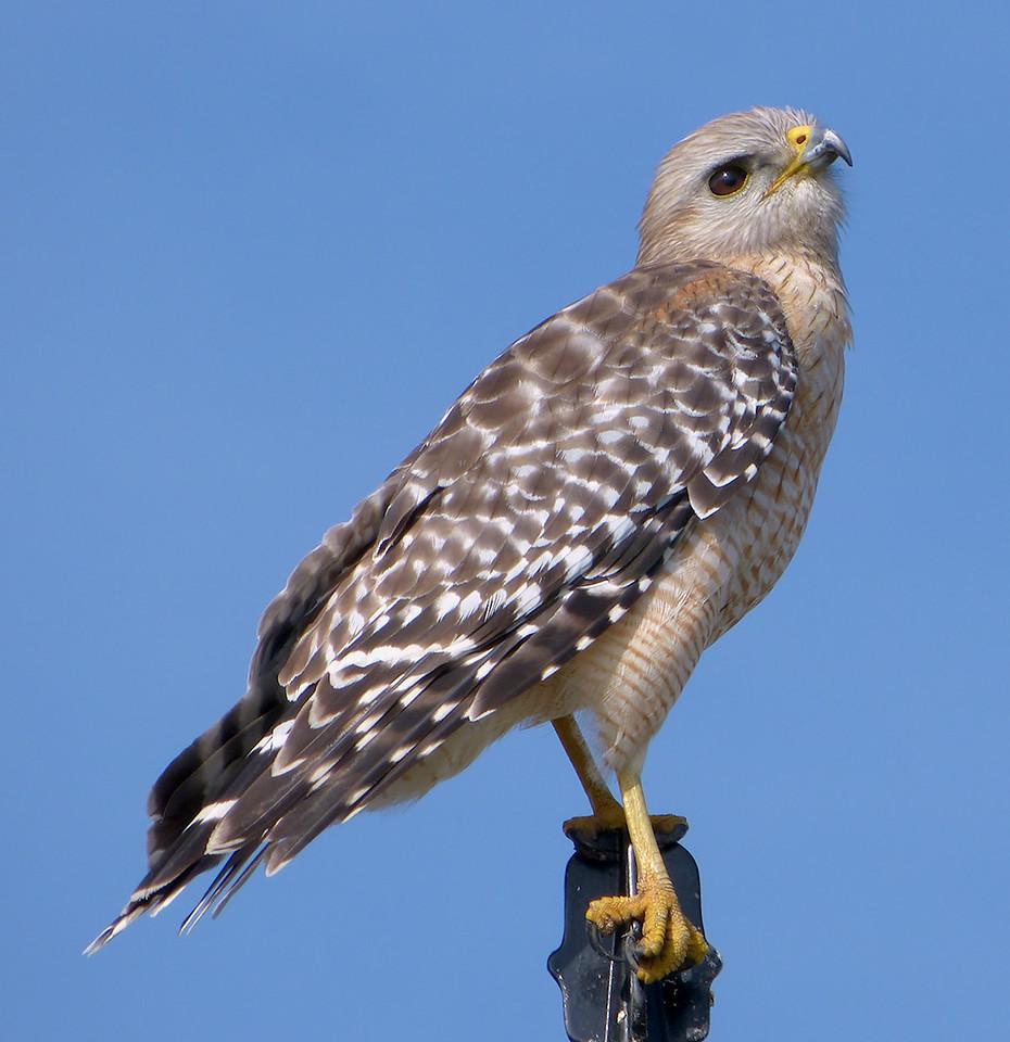 Red Shoulder Hawk - immature
