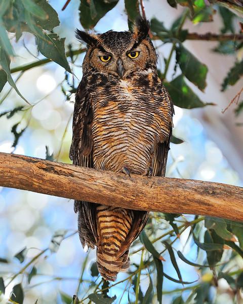 Great Horn Owl Rush Ranch