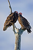 Turkey Vulture,<br /> Brazos Bend State Park, Texas