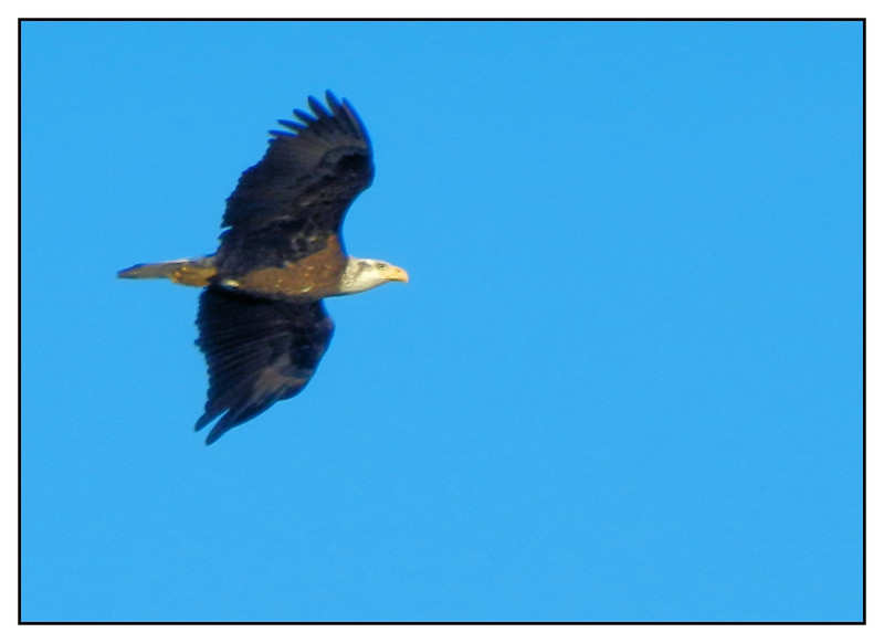 Eagle in flight over Kings Bay