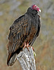 Turkey Vulture,<br /> Nordheim, Texas