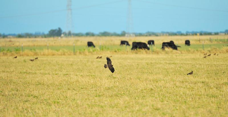 Swainson Hawks feeding in flooding field