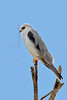 White-tailed Kite,<br /> Brazoria National Wildlife Refuge, Texas