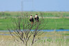 Crested Caracaras,<br /> Brazoria National Wildlife Refuge, Texas