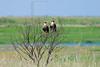 Crested Caracaras,<br /> Brazoria National Wildlife Refuge, Texas