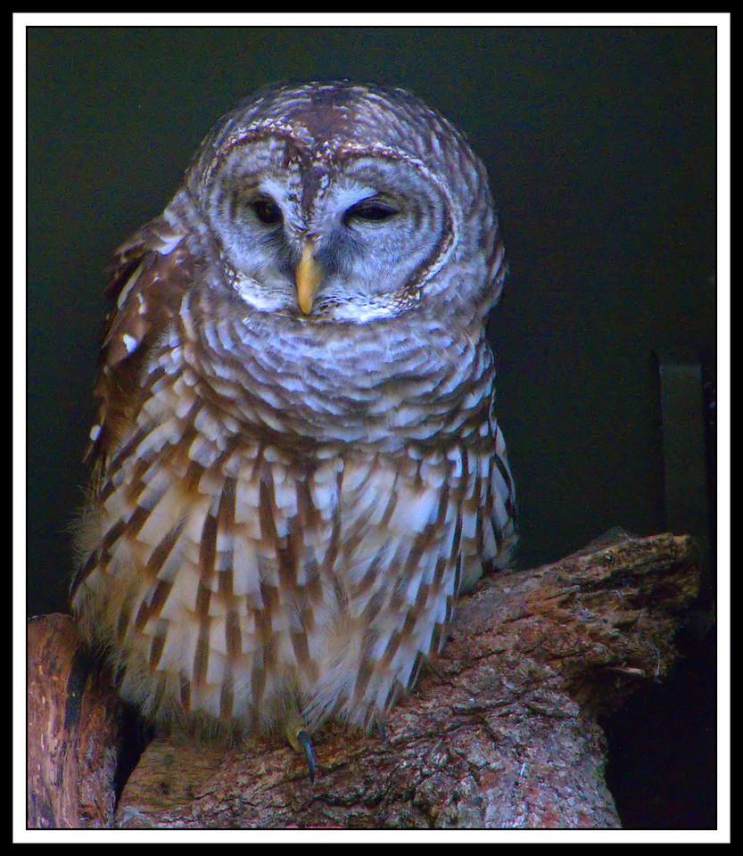 Barred Owl. Homosassa Springs Wildlife State Park. Homosassa, Florida