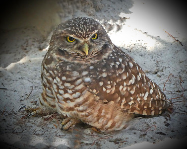 Burrowing Owl, Homosassa Springs Wildlife Park, FZ300