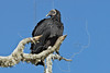Black Vulture,<br /> Aransas National Wildlife Refuge, Texas
