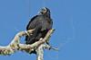 Black Vulture,<br /> Aransas National Wildlife Refuge, Texas