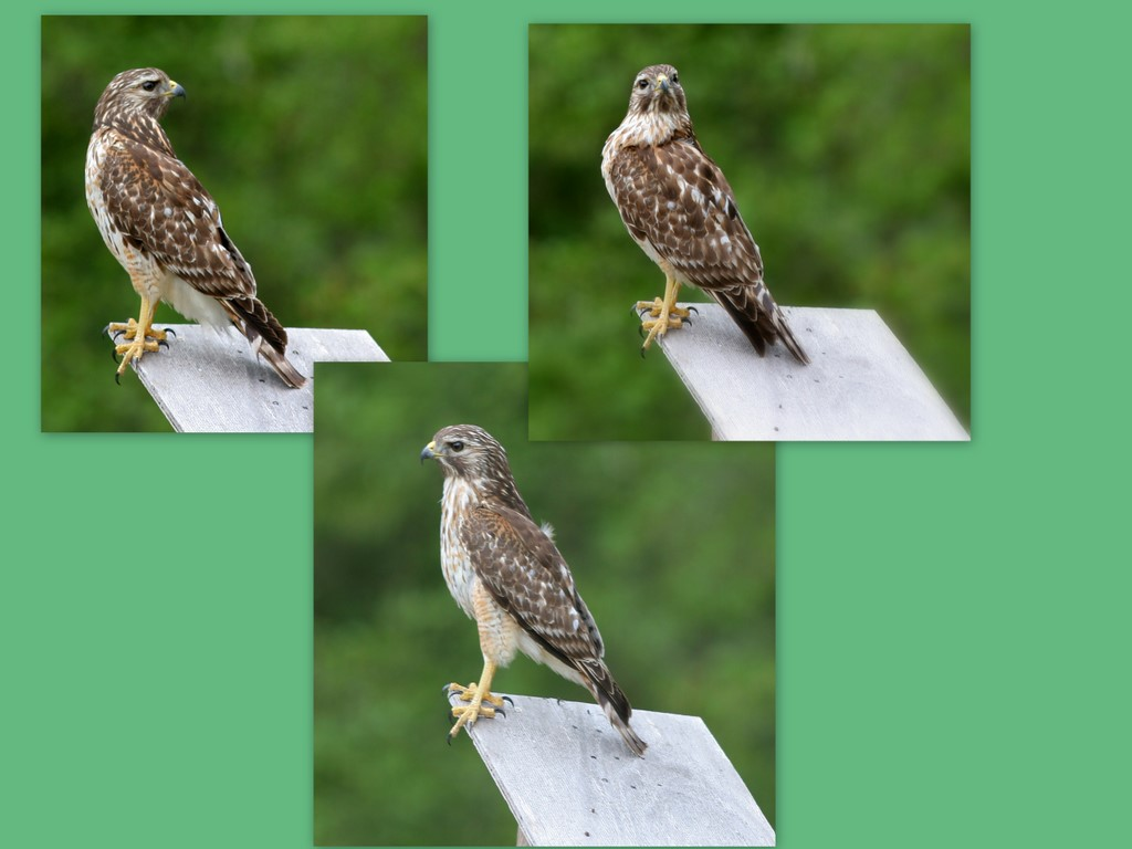 Collage Hawk