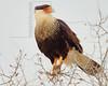 Crested Caracara,<br /> near Nordheim, TX