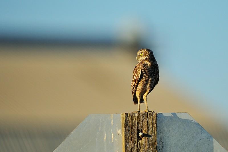 Burrowing Owl Yolano CA