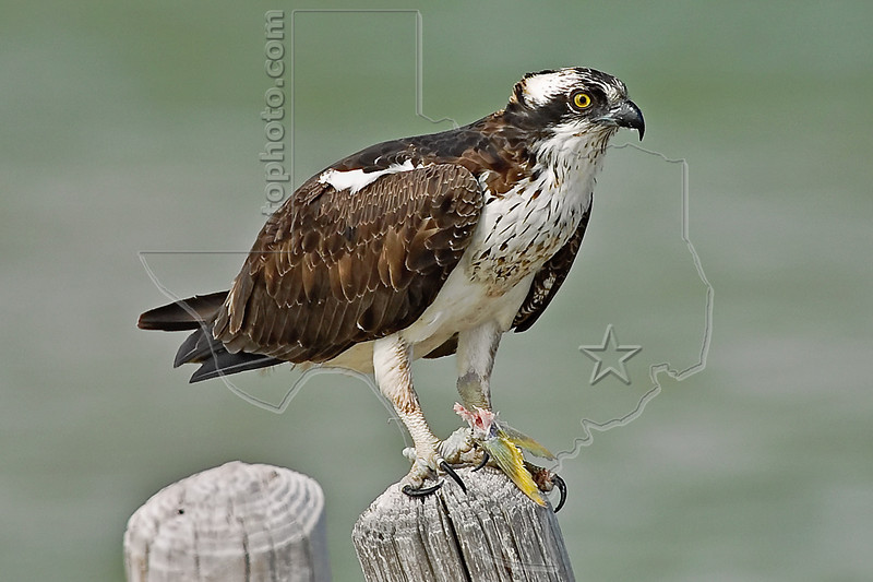 Osprey,<br /> Padre Island National Seashore, Texas