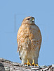 Red-shouldered Hawk<br /> Brazos Bend State Park, Texas