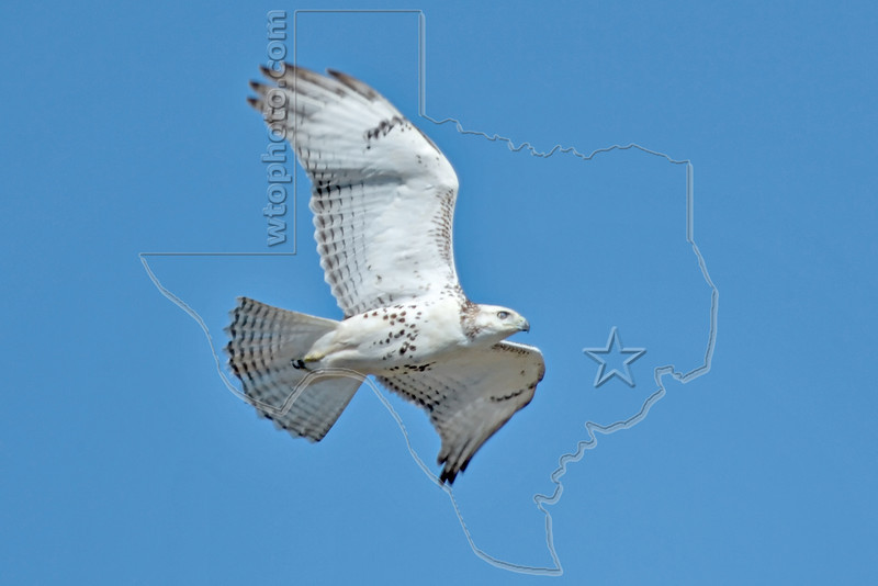 Red-tailed Hawk, Juvenile,<br /> Brazoria National Wildlife Refuge, Texas