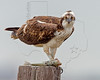 Osprey Eating Fish,<br /> East Beach, Galveston, Texas