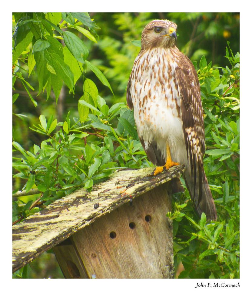 Hawk on the Birdhouse