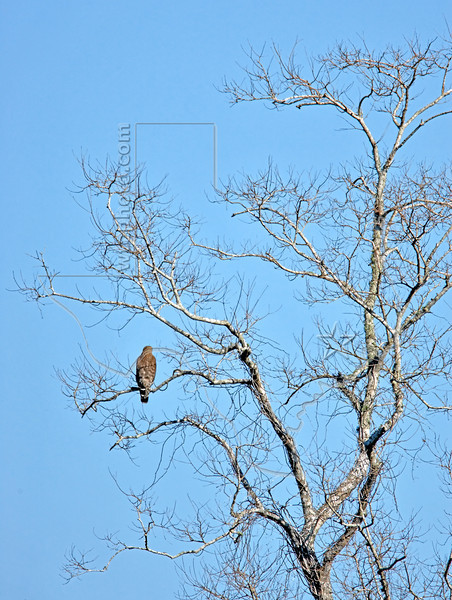 Hawk On Winter Watch in Pecan Tree,<br /> Brazos Bend State Park, Texas