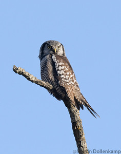 Northern Hawk Owl, RBA Nanaimo BC. This rare visitor to Vancouver Island has been hunting Voles in some fields south of Nanaimo.  She tolerates humans and comes back to the same perches so you just have to wait for her, somtimes she will have a rodent with her.