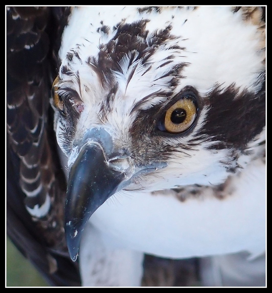 Osprey up close and personal