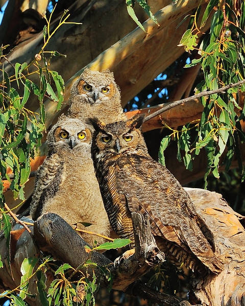 Great Horn Owl Family Rush Ranch Suisun CA