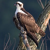 Osprey at the E. L. Huie facility in Clayton County Georgia.