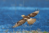 Red-Tailed Hawk,<br /> Anahuac National Wildlife Refuge, Texas