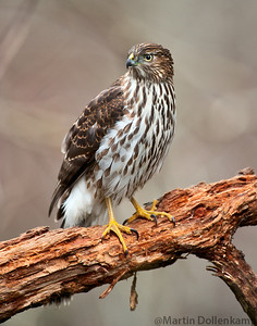 Coopers hawk in the backyard