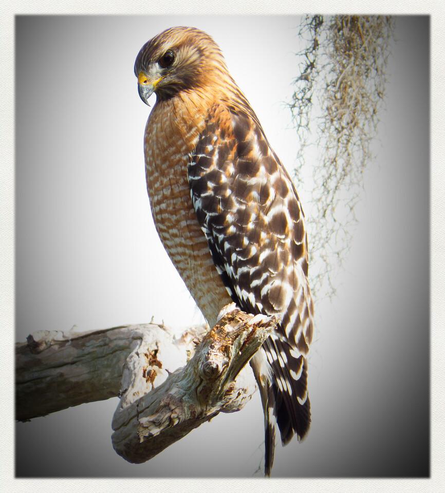 Red Shoulder Hawk. Lake Henderson. Inverness, Florida