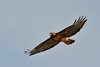 Swainson Hawk Adult