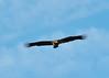 immature Bald Eagle chasing snow geese Sacramento NWR