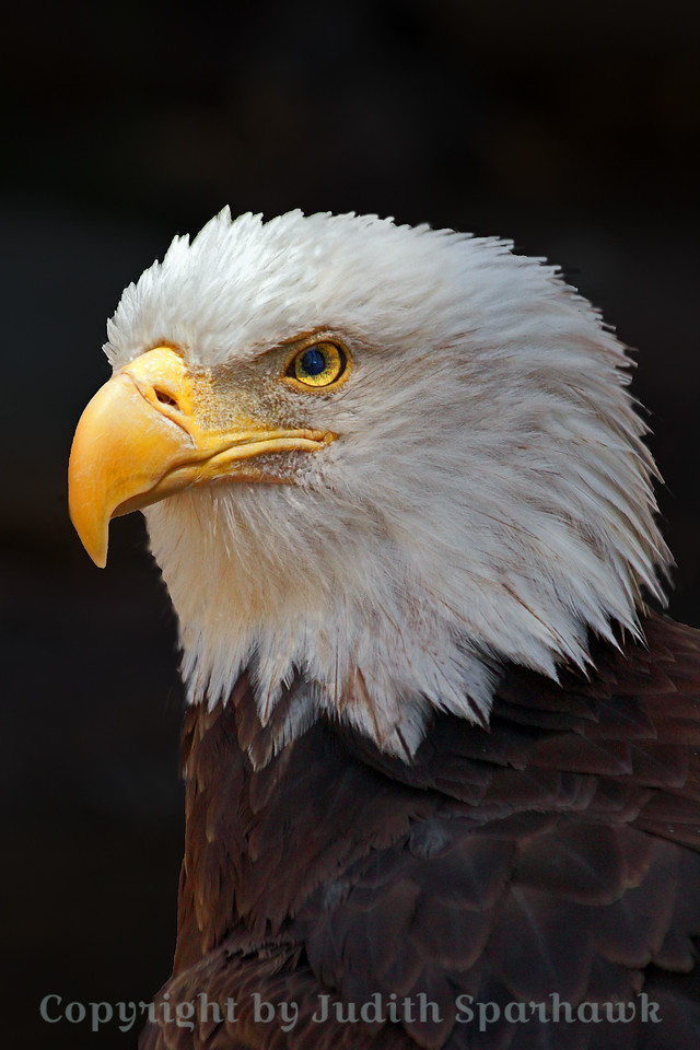 """America's Iconic Bird ~ Despite living under """"rescue"""" conditions, this bird looks beautiful and majestic.  I was happy to capture him."""