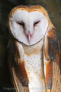Barn Owl Close-up ~ This Barn Owl looks as if I disturbed his sleep on this day.  He did not seem disturbed that I was photographing him, however.