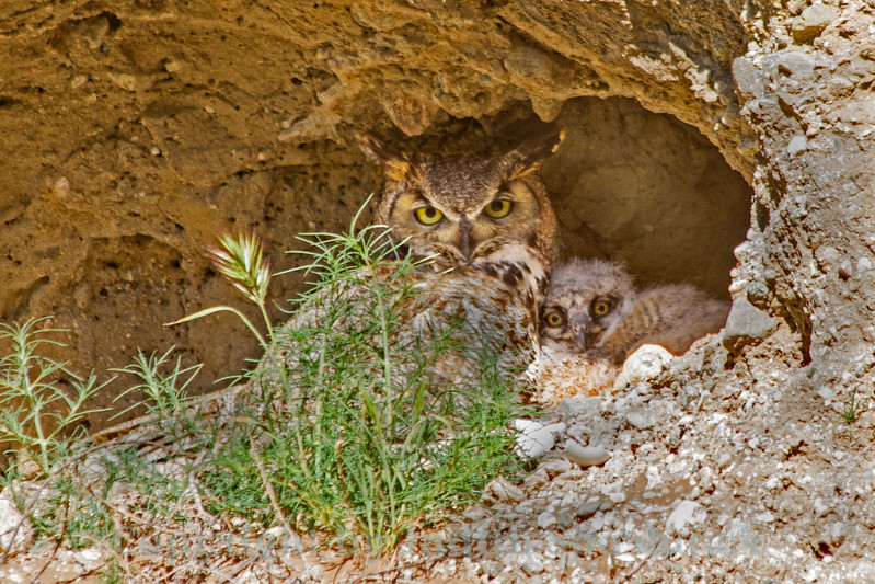 Great Horned Owl at Nest