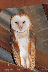 Barn Owl in the Rafters ~ This Barn Owl was roosting in the upper rafters in a local produce stand.  I asked permission to photograph him.  He was the last of two young birds that had been hatched in a nest in the building.  The first owlet to fledge had left two days earlier.  I was glad this one waited around for me to see and photograph it!