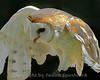 Winging It ~ This beautiful Barn Owl is showing off his wing--aren't I pretty?