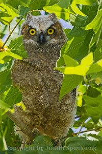 Great Horned Owl Baby ~ Photographed at the local park down the street from my house in Redlands, CA.