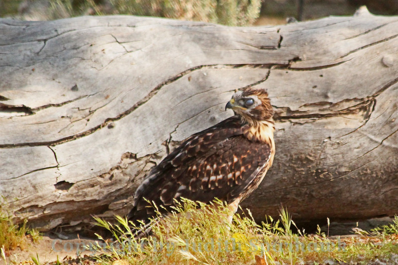 After the Flight ~ After a not-so-successful first flight, this Red Tailed Hawk baby sat on the ground for awhile, resting.  It was very windy and he had trouble flying back up into the tree, making several attempts.