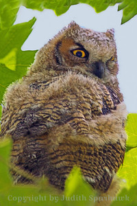 Great Horned Baby