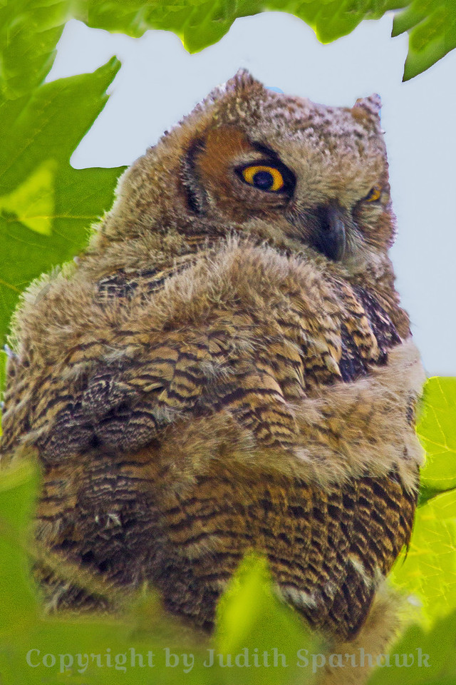 Great Horned Baby ~ To avoid the leaves, I walked around the back of the tree and the owl, so this shot is of his back, looking over his shoulder at me.