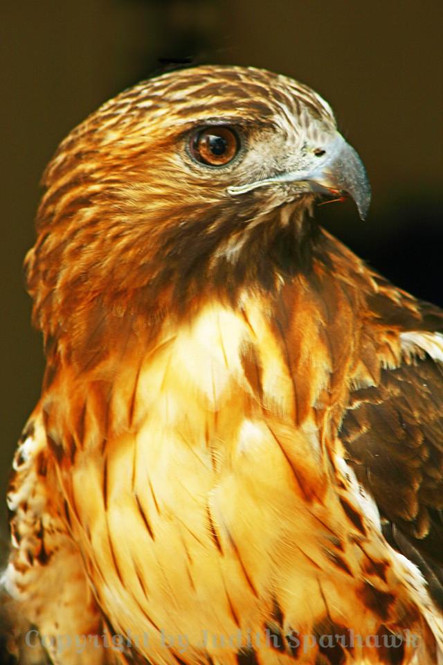 Regal Redtail ~ Red-tailed Hawk portrait, Colorado.