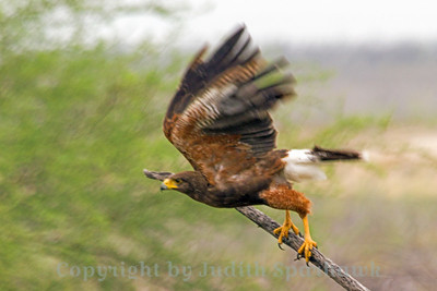 Harris's Hawk Take-off ~ Guess I got a little close to this hawk, so he took off.  Was glad to get a shot of this as well.