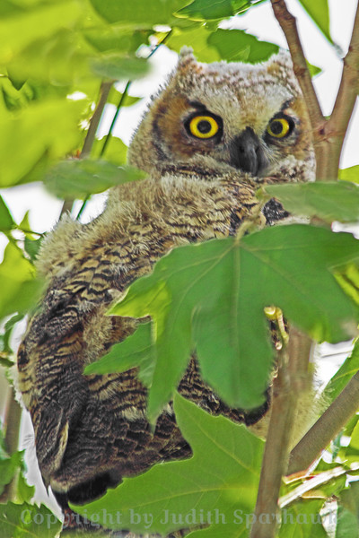 Baby Great Horned Owl ~ This young owl was perched in a tree in the local park.  He was low enough and close enough to shoot him well, despite the leaves in the way.